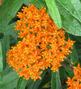 Butterfly Weed Butterfly Flower   - Asclepias tuberosa -  std pot